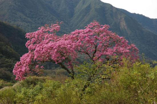 lapacho-arbre